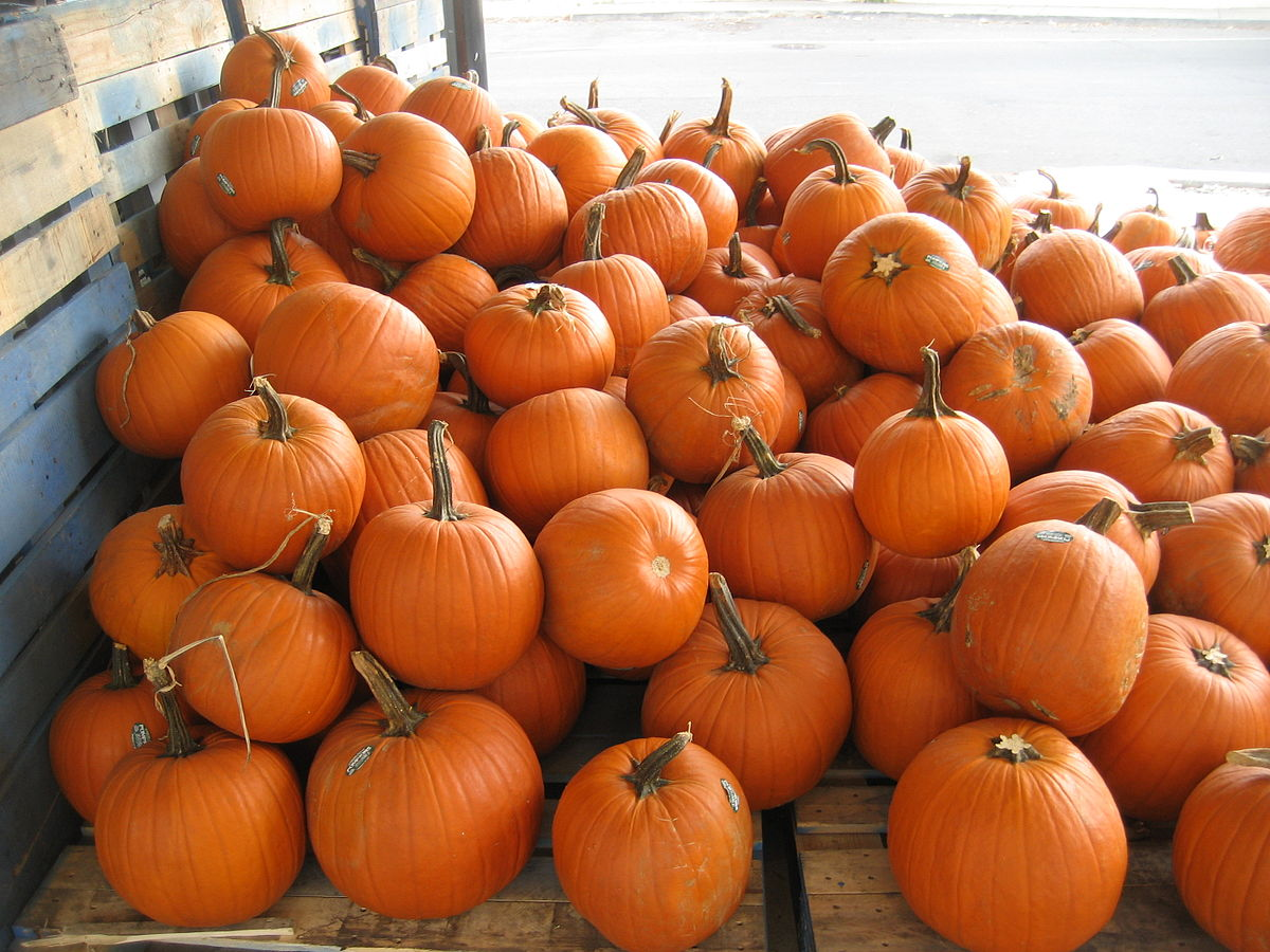 Planted and harvesting pumpkins.