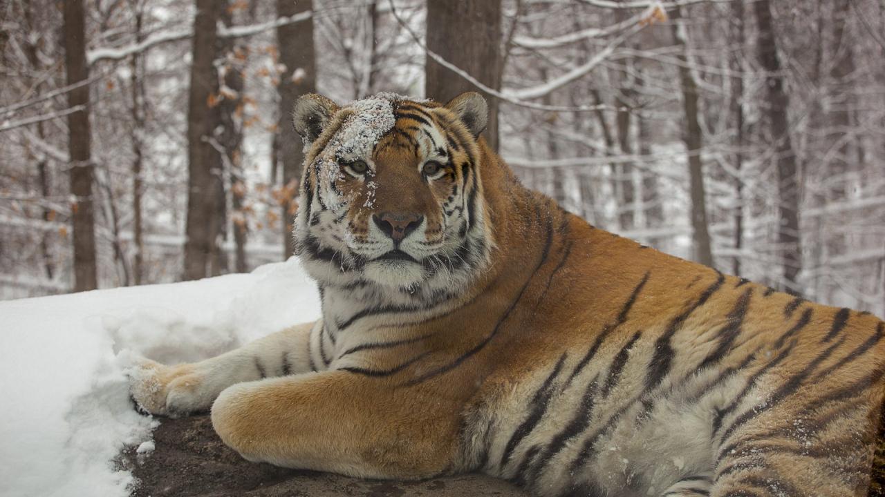 pix of tiger