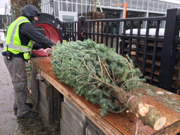 Man baling a Christmas tree in plastic wire