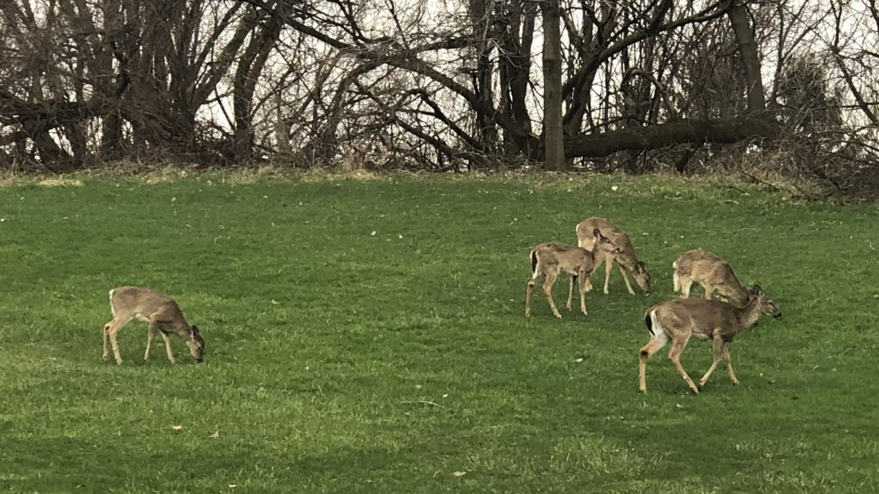 A group of deer eating grass on south campus at Syracuse University.
