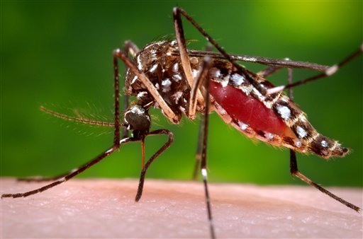 A female mosquito sucking blood.
