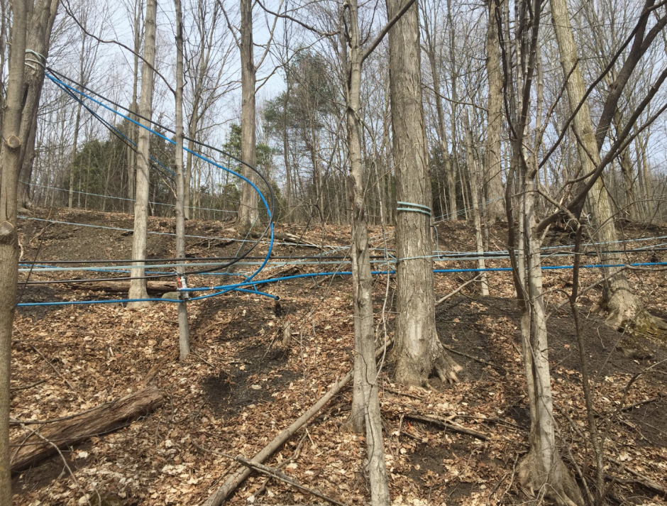 Tubes wrap around trees to collect sap to be made into maple syrup.