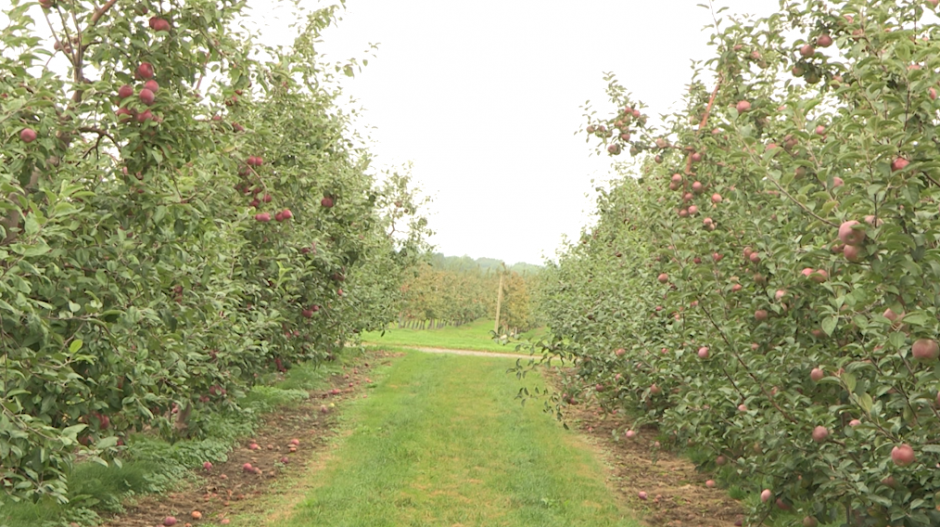 A strip of apple trees.