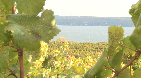 A grape vine in the foreground with Seneca Lake in the background.